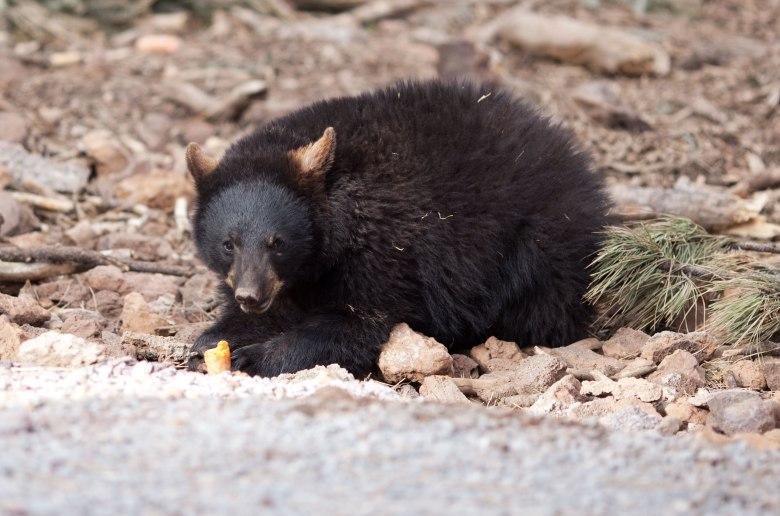 bearscare2