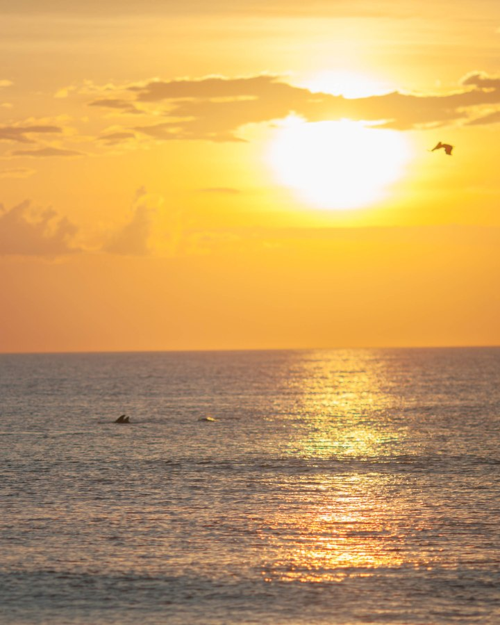 dolphins swimming at cape hatteras national seashore